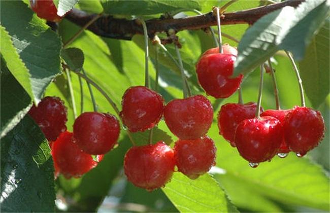 樱桃的生长环境及条件