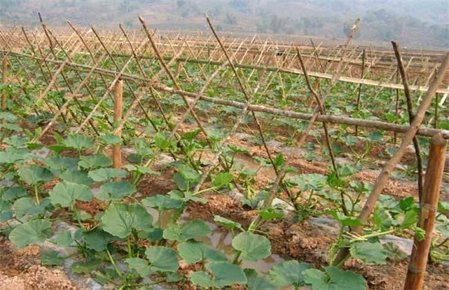 南瓜地膜覆盖种植技术