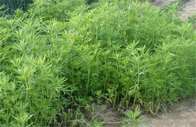 藜蒿 种植技术