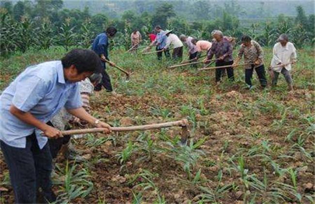 生姜培土方法和注意事项