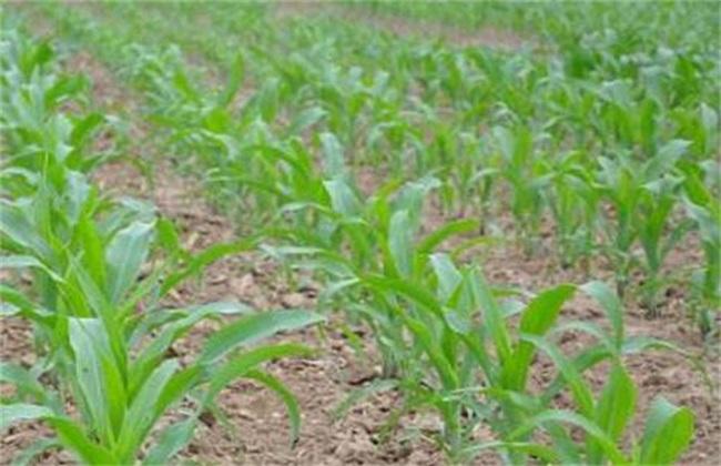 春玉米种植时间和方法