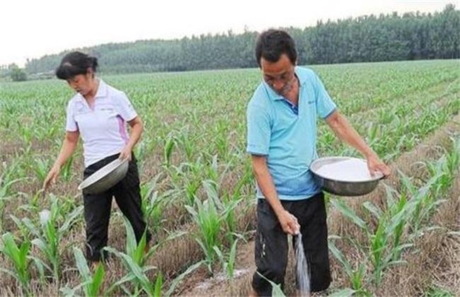 春玉米施肥方法介绍