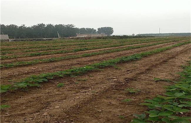 草莓定植后怎么管理