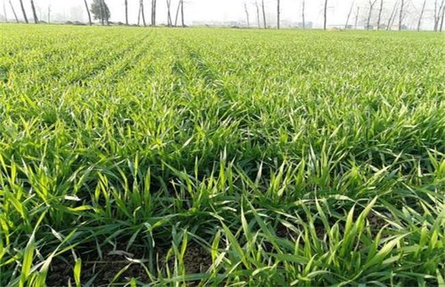 小麦返青期管理重点