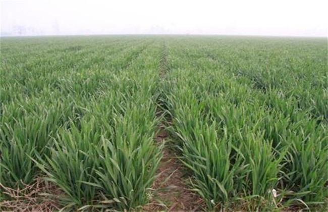 小麦返青期 管理重点
