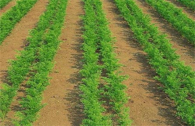 春季萝卜高产栽培技术