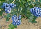 蓝莓土壤调酸技术