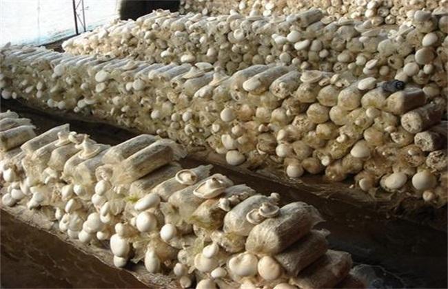 白灵菇的栽培技术