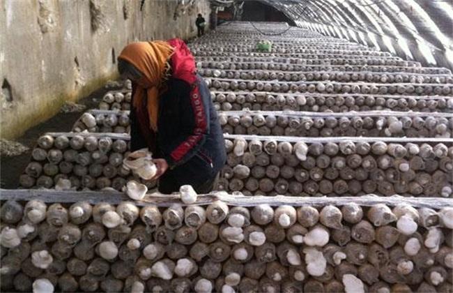 白灵菇生长 环境要求