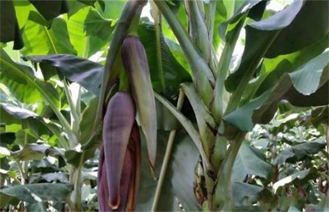 香蕉抽蕾后怎么管理