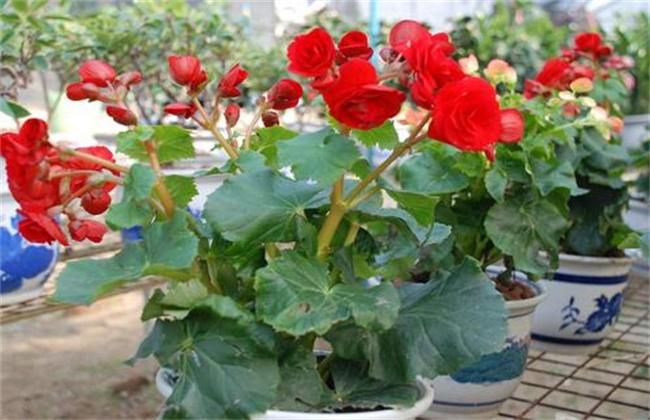 四季海棠的养殖方法和注意事项