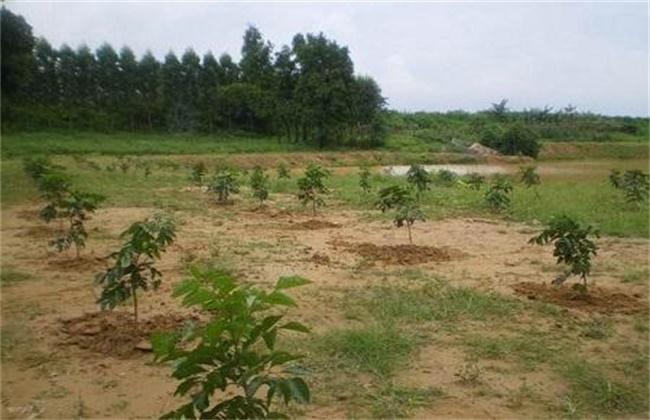 黄皮幼树施肥技术