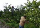 柑橘幼树春季管理技巧