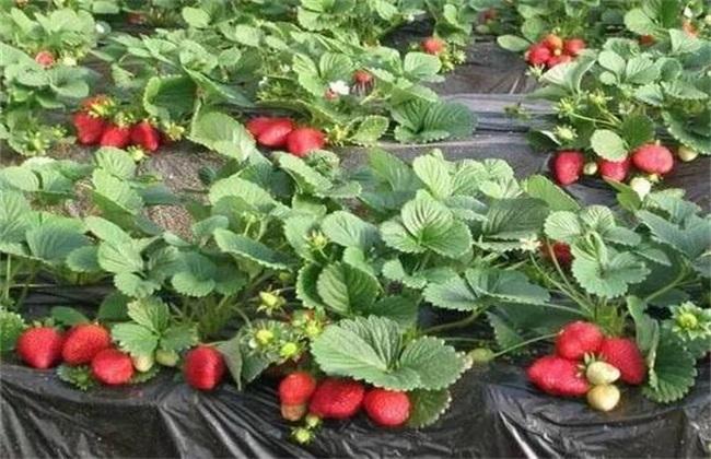 如何提高 草莓 甜度