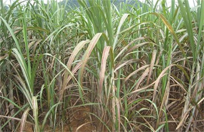 甘蔗除草剂药害补救措施