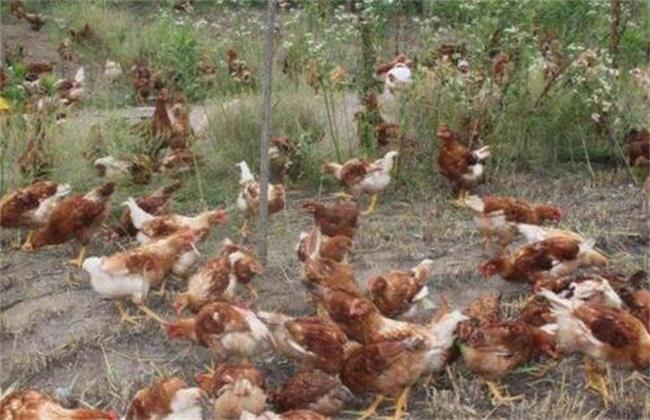 春季养鸡 注意事项