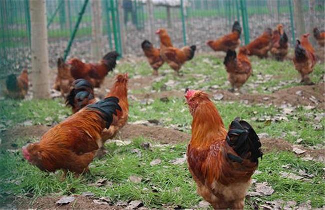 春季养鸡 容易发病 原因