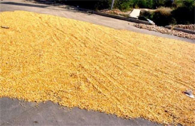 玉米播种前晒种技术