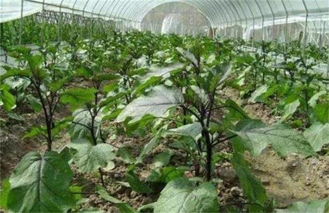 茄子种植三不宜