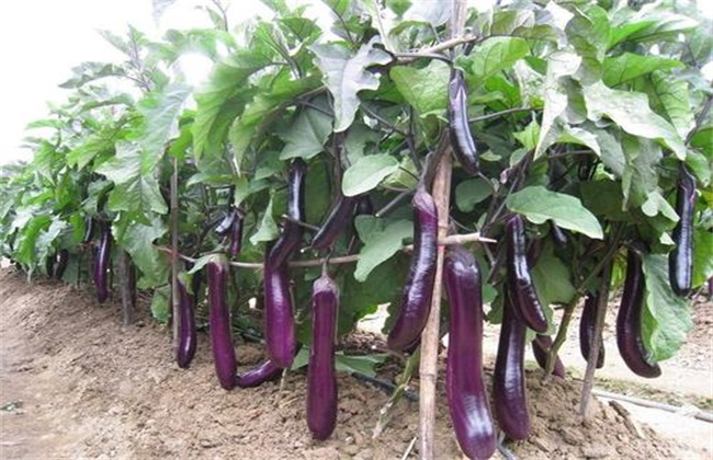 茄子种植 三不宜