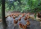 春季养鸡注意事项