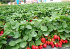 农民种植草莓的利润比种地大吗?