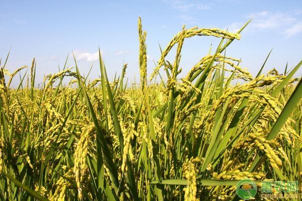 水稻怎样提高产量?水稻高产种植管理技术