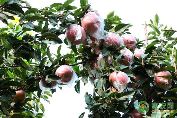 种植的苹果树干腐病有哪些症状、原因及防治方法如何?