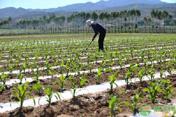春天玉米什么时候播种?出苗率差是什么原因导致?
