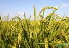 2020年稻谷全新行情:影响稻谷价格因素分析