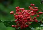 今年花椒价格行情,花椒种植利润分析