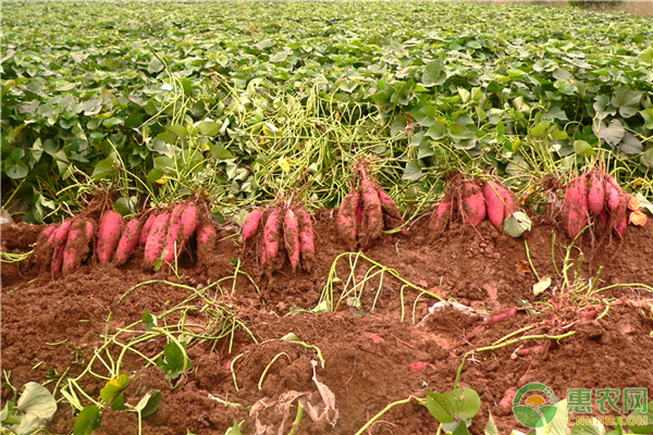 红薯的生长习性和环境规定