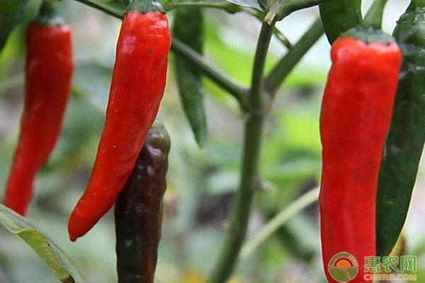 辣椒种子怎么种?按照这六个步骤来没错!