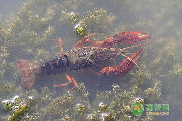 小龙虾碰到天气回暖,养殖户怎样预防青苔?