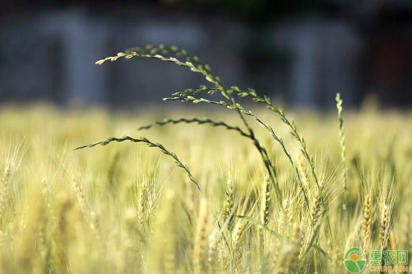 什么是小麦黑脚病?如何降低小麦感染黑脚病的几率?