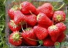 草莓种植如何才能提高糖分含量?这好多个层面要留意管理