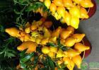 关于怎样提高黄金果产量的栽培技术有哪些?