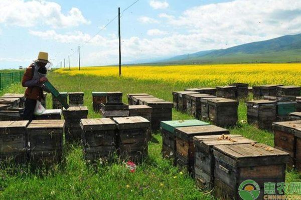 养殖蜜蜂的管理技术及要点