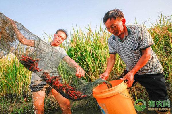 湖北江苏小龙虾的特性及二者的区别
