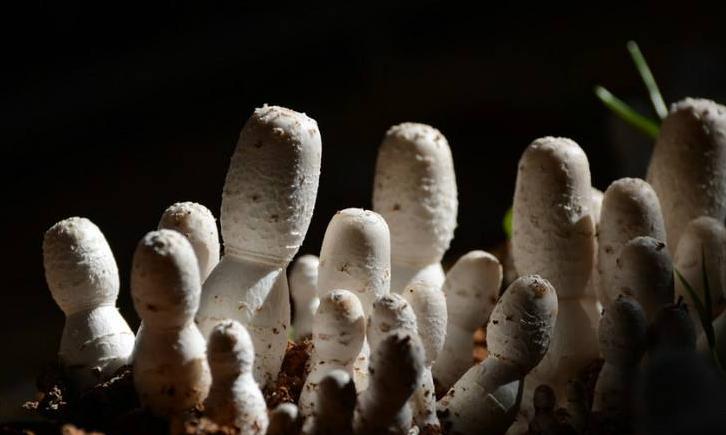 夏天林间栽培鸡腿菇技术