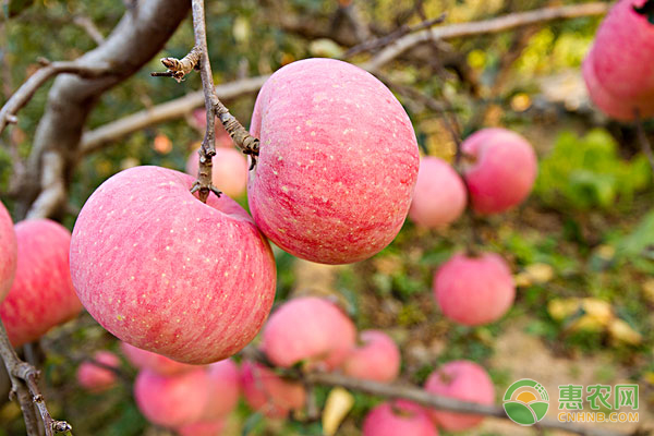 水果种植小课堂:苹果园怎样保持高产?