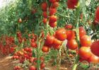番茄出现脐腐病的症状、原因及防治方法