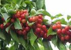 樱桃树苗批发价多少钱一棵?怎样选购优质樱桃苗?
