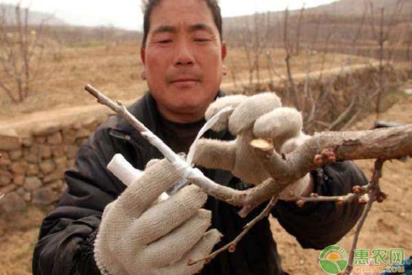 春季给桃树苗的嫁接技巧有哪些?