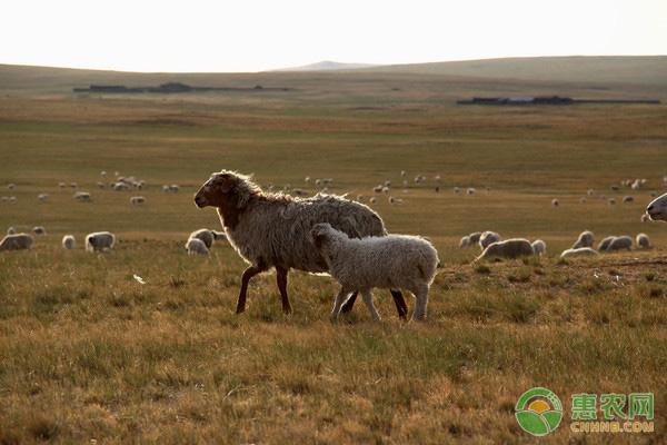 羊异食癖有什么症状?怎样预防羊乱吃东西?