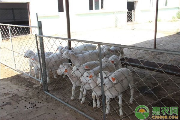 羊毒血症要怎么治疗?羊毒血症的防治措施介绍