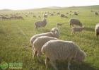 羊白肌病发病症状,怎样防治?