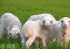 羊痘怎样治疗?羊痘发生症状是如何的?