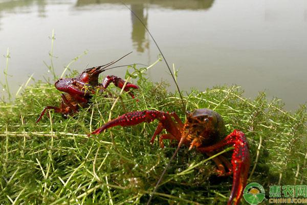 养殖小龙虾普遍水草品种