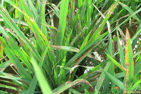 水稻纹枯病如何防治?中国南方水稻纹枯病发病原因及防治